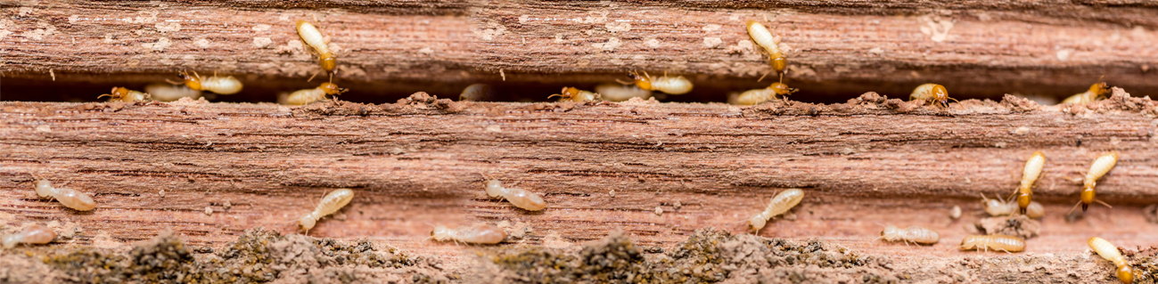 Termite Control Virginia Beach Chesapeake
