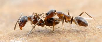 Ants in Kitchen Pest Control Home Pest Control