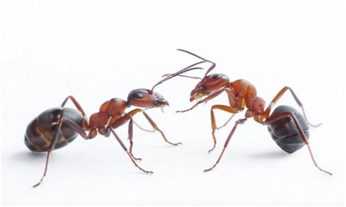 Ant Pest Control