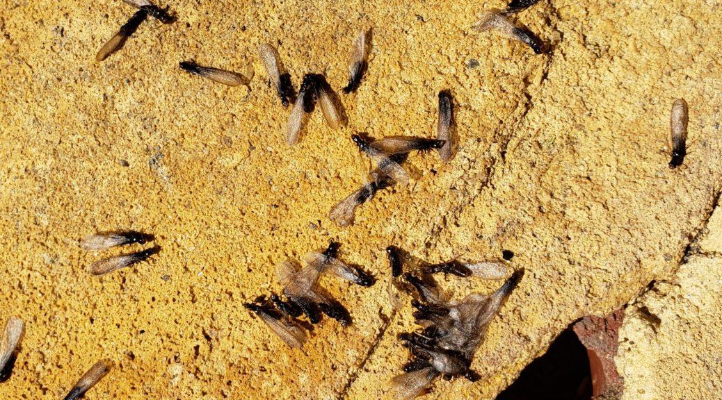 termites in virginia beach