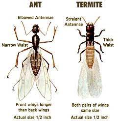 termite or ant