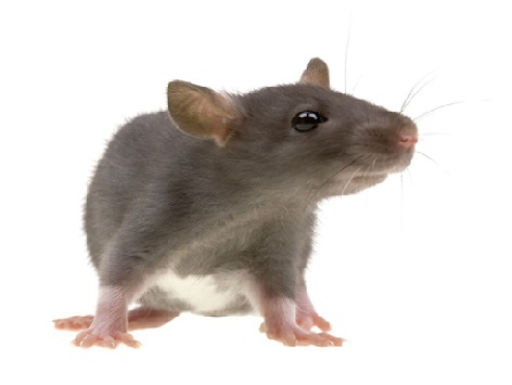 rat-mice , Virginia